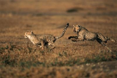 Pair of Cheetahs Running, Maasai Mara, Kenya by Adam Jones