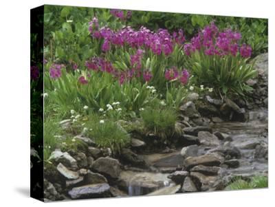 Parry Primrose, Primula Parryi, Rocky Mountains, North America