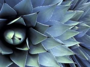 Pattern in Agave Cactus by Adam Jones