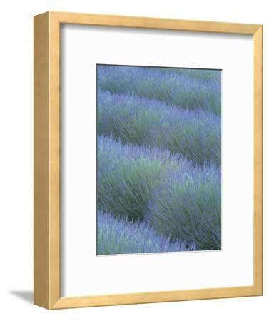 Pattern in Rows of Lavender, Avignon De Provence, France, Europe