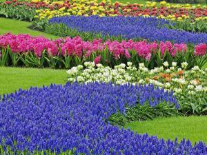 Pattern of Grape Hyacinth, Keukenhof Gardens, Lisse, Netherlands by Adam Jones