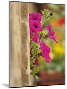 Petunia Flowers on Wall, Tuscany, Italy by Adam Jones