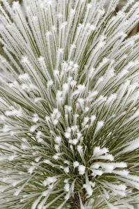 Pine bough with heavy frost crystals, Kalispell, Montana by Adam Jones