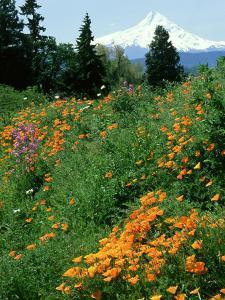 Poppies on Hillside with Mount Hood Near Hood River, Oregon by Adam Jones