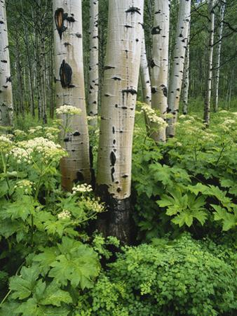 Quaking Aspen and Cow Parsnip, White River National Forest, Colorado, USA