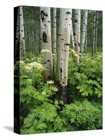 Aspen white painted bedroom Tombates Quaking Aspen And Cow Parsnip White River National Forest Colorado Usa Miamalkovaclub Beautiful Aspen Canvas Artwork For Sale Posters And Prints Artcom