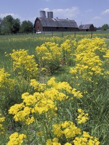 Ragwort and Barn, Bardstown, Kentucky, USA by Adam Jones