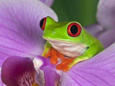 Red-Eyed Tree Frog by Adam Jones