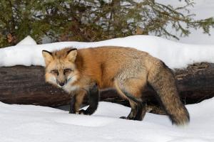 Red Fox in winter, Montana, Vulpes Vulpes by Adam Jones
