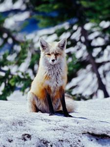 Red Fox on Snow Bank, Mt. Rainier National Park, Washington, USA by Adam Jones