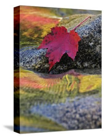 Red Maple Leaf on Rock in Swift River, White Mountain National Forest, New Hampshire, USA