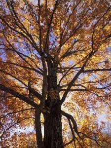Red Maple Tree, Kentucky, USA by Adam Jones