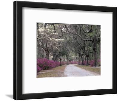 Road Lined with Azaleas and Live Oaks, Quercus Virginiana, Draped with Spanish Moss