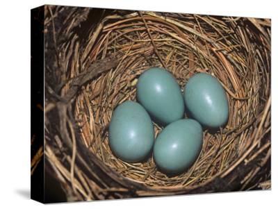 Robin Eggs in the Nest, Turdus Migatorius, USA