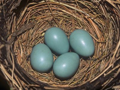 Robin Eggs in the Nest, Turdus Migatorius, USA by Adam Jones