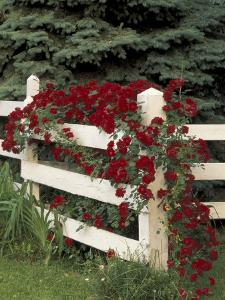 Roses on White Wooden Fence, Louisville, Kentucky, USA by Adam Jones