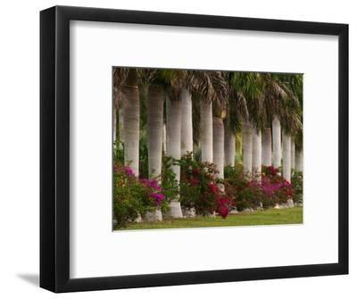 Row of Stately Cuban Royal Palms, Bougainvilleas Flowers, Miami, Florida, USA