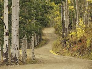 Rural Forest Road Through Aspen Trees, Gunnison National Forest, Colorado, USA by Adam Jones