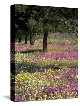 Sand Verbena and Brown-Eyed Primrose, Texas, USA