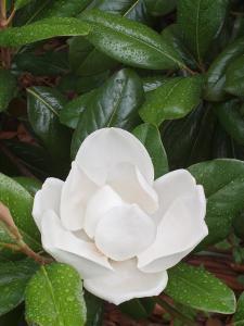 Saucer Magnolia, Louisville, Kentucky, USA by Adam Jones