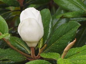 Saucer Magnolia by Adam Jones