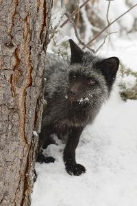 Silver Fox a melanistic form of the red fox. Montana by Adam Jones
