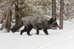 Silver Fox in winter, Montana by Adam Jones