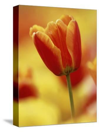 Single Tulip Among Many