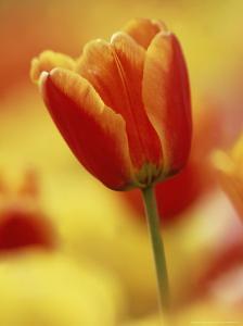 Single Tulip Among Many by Adam Jones