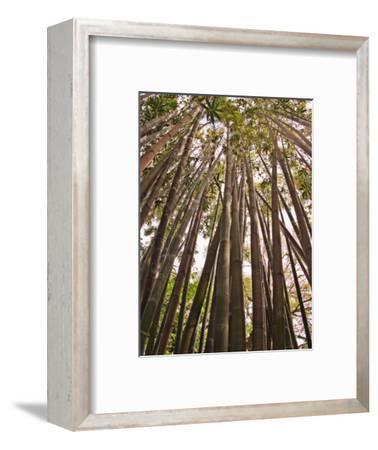 Skyward View in Bamboo Forest, Selby Gardens, Sarasota, Florida, USA