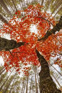 Skyward View of Maple Tree in Pine Forest, Upper Peninsula of Michigan by Adam Jones