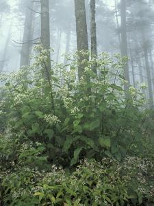 Snakeroot and Asters, Great Smoky Mountains National Park, Tennessee, USA by Adam Jones