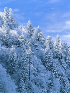 Snow Covered Trees in Forest, Newfound Gap, Great Smoky Mountains National Park, Tennessee, USA by Adam Jones