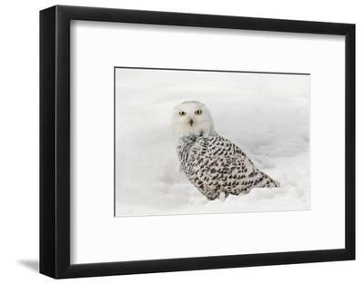 Snowy Owl on snow, Montana, Bubo scandiacus