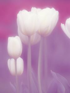Soft Focus View of Tulips, Cincinatti, Ohio, USA by Adam Jones