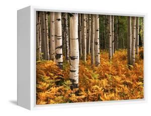 Stand of Quaking Aspen Tree, Gunnison National Forest, Colorado, USA by Adam Jones