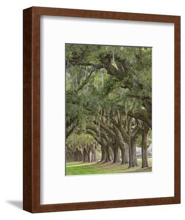 Stately Live Oak Trees Draped in Spanish Moss, Boone Hall Plantation, Mount Pleasant