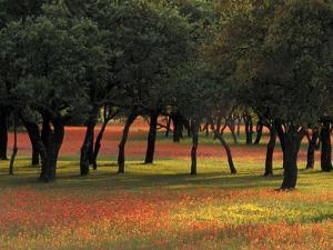 Texas Paintbrush and Bluebonnets Beneath Oak Trees, Texas Hill Country by Adam Jones