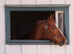 Thoroughbred Race Horse in Horse Barn, Kentucky Horse Park, Lexington, Kentucky, USA by Adam Jones