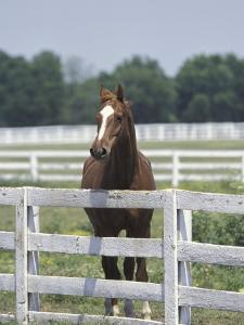 Thoroughbred Race Horse, Kentucky Horse Park, Lexington, Kentucky, USA by Adam Jones