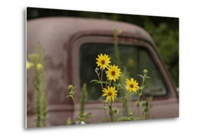 Tickseed Sunflower in Late Summer, and Old Abandoned Truck, Minnesota