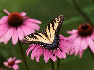Tiger Swallowtail Butterfly on Purple Coneflower, Kentucky, USA by Adam Jones
