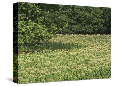 Tobacco Crop in Full Bloom, Nicotiana Tabacum, Bluegrass Region of Central Kentucky, USA