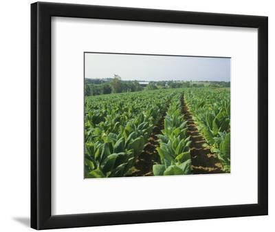 Tobacco Crop, Nicotiana Tabacum, Bluegrass Region of Central Kentucky, USA