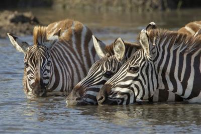 Trio of Burchell's Zebras Drinking at Sunrise, Masai Mara, Kenya