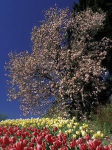 Tulips and Magnolia tree, Cincinatti, Ohio, USA by Adam Jones