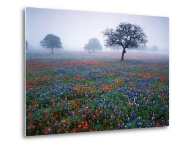 View of Texas Paintbrush and Bluebonnets Flowers at Dawn, Hill Country, Texas, USA