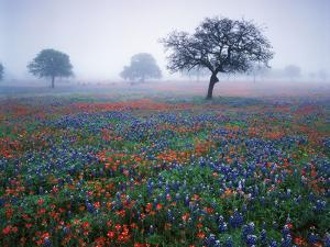 View of Texas Paintbrush and Bluebonnets Flowers at Dawn, Hill Country, Texas, USA by Adam Jones