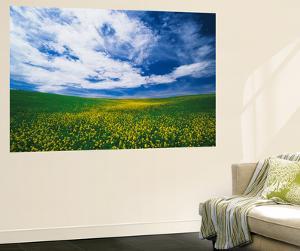 View of Wild Mustard Flowers Field, Washington, USA by Adam Jones
