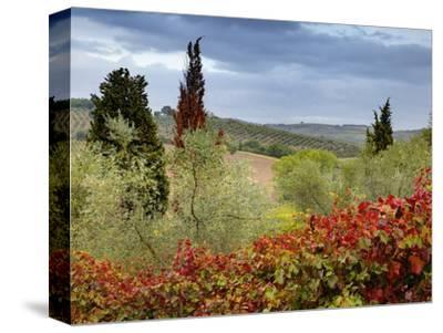 Vineyard Near Montalcino, Italy, Tuscany